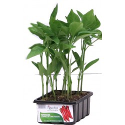 SEEDLINGS OF SWEET PEPPER CORNO DI TORO RED BOWL FROM 12 PLANTS