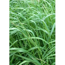 SEEDS OF MEADOW RYEGRASS PERENNIAL KG.5