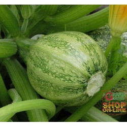 SEEDS OF MARROW ROUND CLEAR NICE