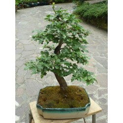 BONSAI OLIVE TREE DECO