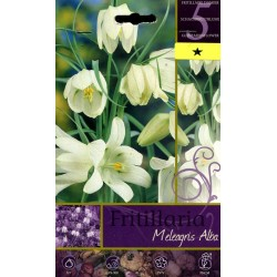 The BULBS FLOWER-FRITILLARIA MELEAGRIS ALBA No. 5