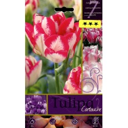BULBS OF FLOWER TULIPA CARTOUCHE No. 7