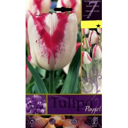 BULBS OF FLOWER TULIPA PLAYGIRL N. 7