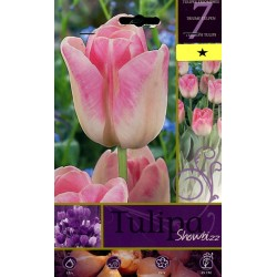 BULBS OF FLOWER TULIPA SHOWBIZZ No. 7
